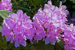 Blooming rhododendron flowers in pink Stock Images