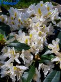 Blooming Rhododendron flowers in the spring park. Blooming white Rhododendron flowers in the park stock photo