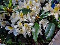 Blooming Rhododendron flowers in the spring park. Blooming white Rhododendron flowers in the park royalty free stock photography