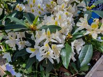 Blooming Rhododendron flowers in the spring park. Blooming white Rhododendron flowers in the park stock photos