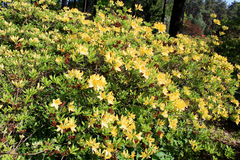 Blooming rhododendron garden. Rhododendron blossom in springtime at a park stock images