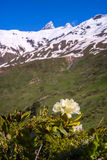 Blooming rhododendron on the green slopes of the mountain range Stock Photos