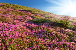 Blooming rhododendron in mountains Royalty Free Stock Image