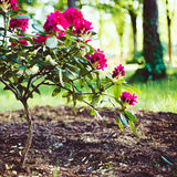 Blooming rhododendron Stock Photos