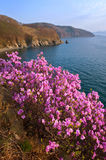 Blooming rhododendron on the shores of the Bay of Nakhodka. Royalty Free Stock Images