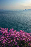 Blooming rhododendron on the shores of the Bay of Nakhodka. Royalty Free Stock Photography