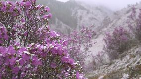 Blooming rhododendron in Siberia in the mountains. Blooming rhododendron in the spring in the mountains. Violet flowers in the wind under the snow stock video