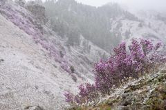 Blooming rhododendron in Siberia in the mountains. Blooming rhododendron in the spring in the mountains. Violet flowers in the wind under the snow royalty free stock photos