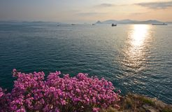 Blooming rhododendron on the sunny seashore. stock photography