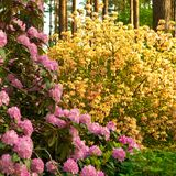 Blooming rhododendrons Stock Image
