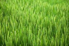 Blooming rice closeup Royalty Free Stock Photos