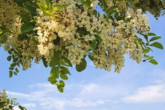 Blooming robinia branches in sunlight. Blooming robinia branches in front of blue and white sky Royalty Free Stock Photo