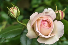 Blooming rosa `Eden`. Also known as `Pierre de Ronsard`, `MEIviolin`, and `Eden Rose 85 Stock Photography