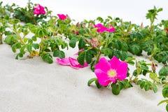 Blooming Rosa Rugosa Royalty Free Stock Images