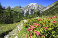 Blooming rose Royalty Free Stock Photo