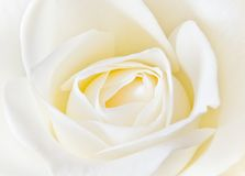 Blooming rose. Soft creamy white rose background stock photography