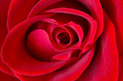Blooming Rose. Closeup of a beautiful red rose Royalty Free Stock Photo