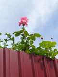 Blooming rose behind metal fence. Flowering pink rose behind fence, blue sky with clouds Royalty Free Stock Photo