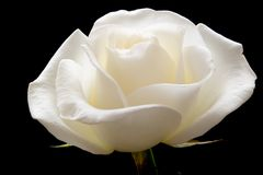 Blooming rose on black. White rose on pure black background royalty free stock images