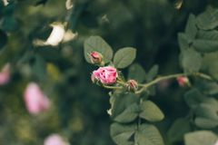 Blooming rose bud on the branches in the garden. Soft focus, film effect and author processing. Blooming rose bud on the branches in the garden. Soft focus, film royalty free stock photography