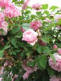 Blooming rose bush Stock Photography