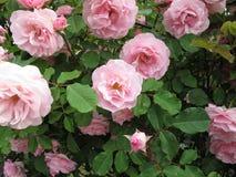 Blooming rose bush Royalty Free Stock Photos