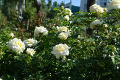 Free Blooming Rose Bush With White Flowers In Summer Stock Image - 154319541