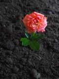 Blooming rose on fertile land. The concept of growth and prosperity. Blooming rose on fertile land. The concept of growth and prosperity stock photo