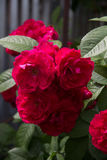 Blooming rose. Flowering bush of red roses and green foliage royalty free stock image