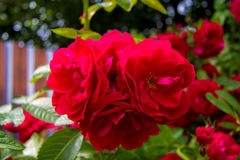 Blooming rose. Flowering bush of red roses and green foliage royalty free stock photography