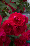 Blooming rose. Flowering bush of red roses and green foliage stock photography