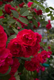 Blooming rose. Flowering bush of red roses and green foliage stock photos