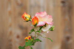 Blooming rose in the foreground Royalty Free Stock Image