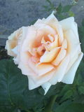 Blooming rose Royalty Free Stock Images