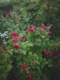 Blooming rose bush in the garden Stock Images