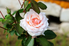 Blooming rose in the garden Royalty Free Stock Photo