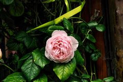 Blooming rose and leaves. A beautiful shot of a blooming light pink rose surrounded by luscious great leaves Stock Image