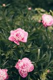 Blooming rose peonies on branches on the background of green leaves. Soft focus, film effect, author processing. Blooming rose peonies on branches on the stock photography