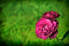Blooming rose Royalty Free Stock Photography