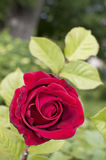Blooming rose in spring garden Royalty Free Stock Photos