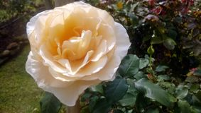 A blooming rose royalty free stock photography