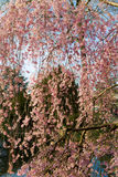 Blooming rosebud cherry tree Royalty Free Stock Photography