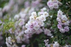Blooming rosebush. Branch of a blossoming rose bush Royalty Free Stock Photos