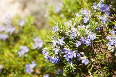 Blooming rosemary Royalty Free Stock Photography