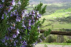 blooming rosemary on a background of green hills royalty free stock image