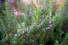 Blooming rosemary bush in home green garden.  royalty free stock photos