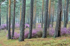 Blooming rosemary in the pine forest. Spring forest. Wildlife. Blooming purple in the pine forest. Spring forest. Wildlife. Russia, Siberia royalty free stock images