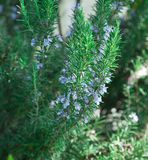 Blooming Rosemary Royalty Free Stock Image