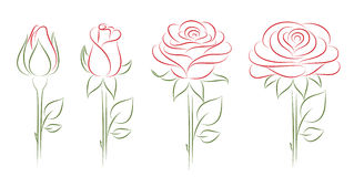 Blooming roses. Stock Image