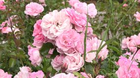 Blooming roses.  stock footage